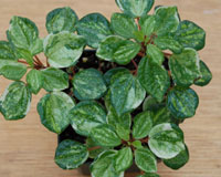 Pepperomia - hoffmanii (variegated) - Click Image to Close